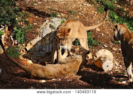 two young lionesses raging together in the sunlight