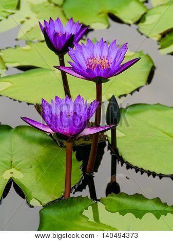 Group Of Purple Lotus Flower In The Pool