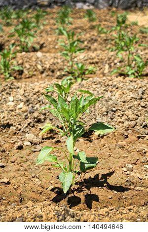 growing organic plants in garden