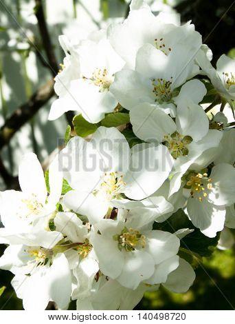 Apple blossom in the garden on spring