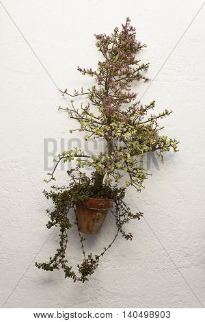 Portucalaria Afra Elephant Bush or Dwarf Jade Plant in a hanging pot on a white wall. It is a small-leaved succulent plant.