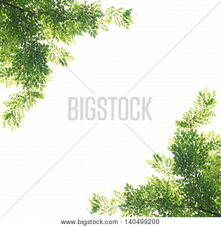 Green leaves with branch as natural background