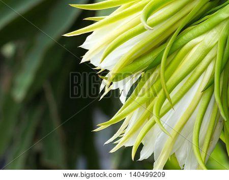 Close-up of flowers of Dragon fruit cactus (Hylocereus spp)