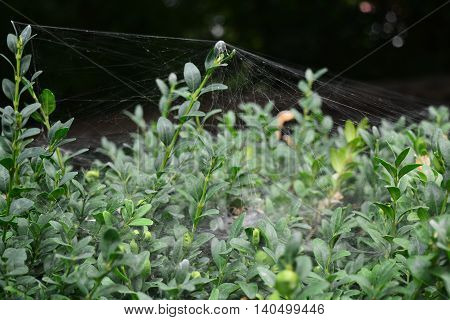 Spider web of braided green bush in city park