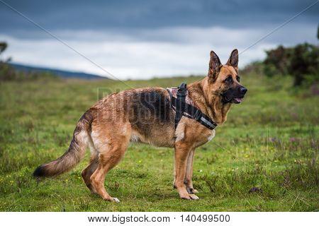 german shepherd dog pose full body in the fields
