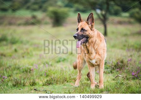 Gsd K9 Security Dog