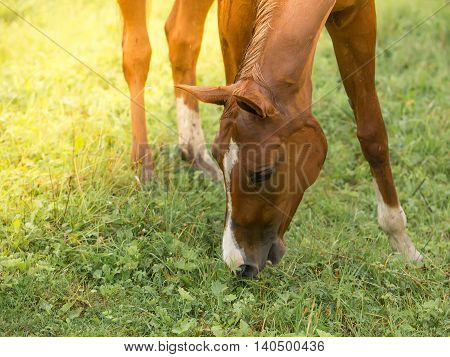 Horse eating grass on the pasture meadow
