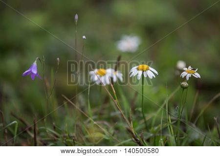 Chamomile and campanula in the meadow at summer day