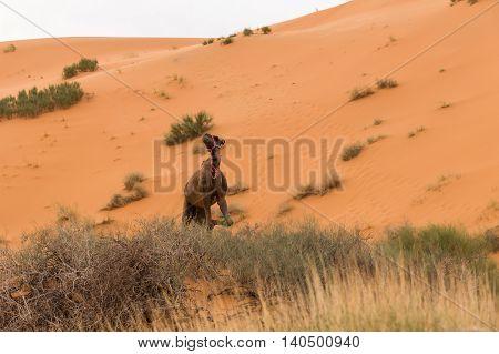 Camel standing in the sand dunes, Sahara Desert