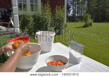 Hand cleaning of cloudberry before processing to jam picture from the North of Sweden