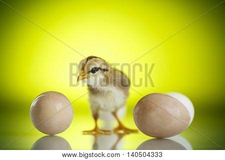 Pretty Cute Chick With Eggs