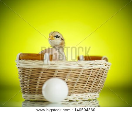Pretty Cute Chick In A Basket With Eggs