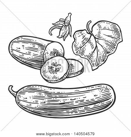 Fresh green cucumbers - whole half slices leaf and flower. Isolated on the white background. Vector color hand drawn vintage engraving illustration for poster label menu web.