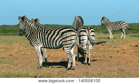 Zebra, Koeberg Nature Reserve, Cape Town South Africa 06
