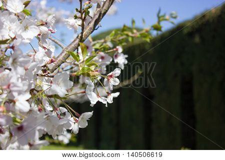 Cherry tree (Prunus spp) flowers on a background of a dark hedge