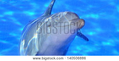 Dolphin big gray underwater in blue pool