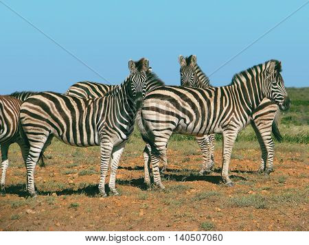 Zebra, Koeberg Nature Reserves, Cape Town South Africa