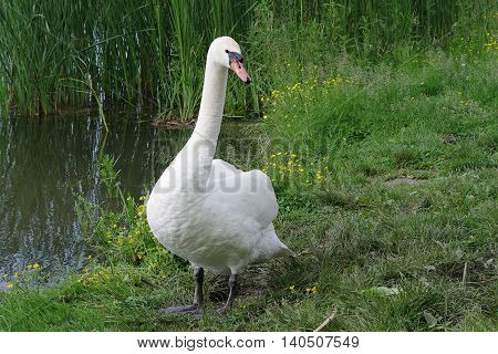Male swan walking alone on the shore of the pond