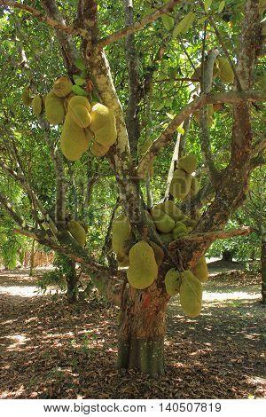 Jackfruit tree (Artocarpus heterophyllus) with fruits in a garden in South Florida
