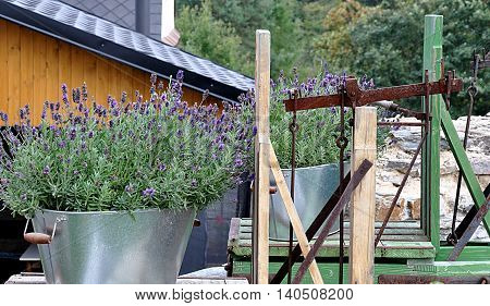 view of blooming lavender and old scales