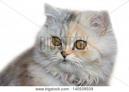 Portrait of Persian cat isolated on white background