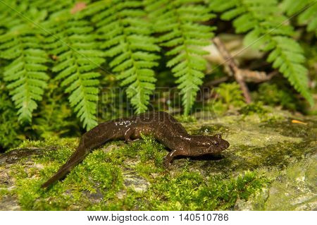 A northern Dusky Salamander crawling over a mossy stone in the wild.