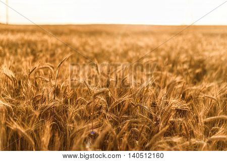 Wheat field close up against a sunlight