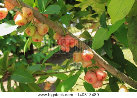 Fruits of Syzygium malaccense called also Malay rose apple, Malay apple, Mountain apple, Rose apple, Otaheite cashew, Pink satin-ash or Pommerac