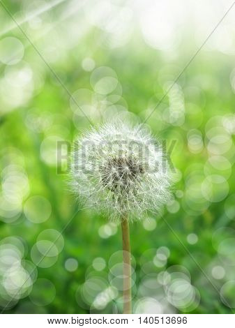 close up shot of dandelion and sunlight.