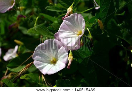 white Calystegia sepium closeup growing in sun