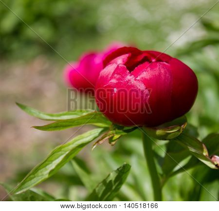 Closeup of a single flower of a burgundy Peony (Paeonia)