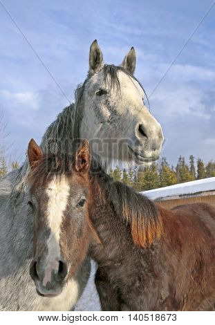 Gray dapple Mare and Foal together at winter pasture.