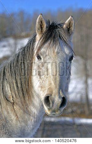 Grey Arabian Horse in winter, portrait Head