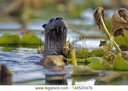River Otter swimming among water lilies watching, alert
