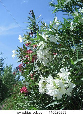 Adelfas. Alegres flores hermosas en la ciudad. Zaragoza.España.