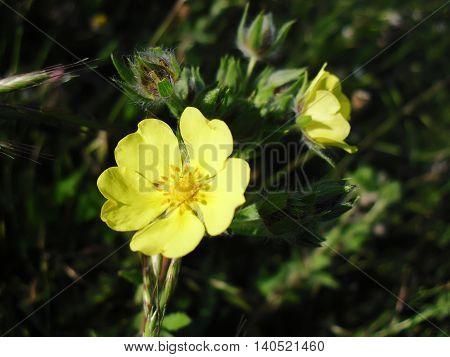 Primrose yellow flower was found in forest