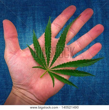 cannabis leaf on the palm. marijuana on jeans background