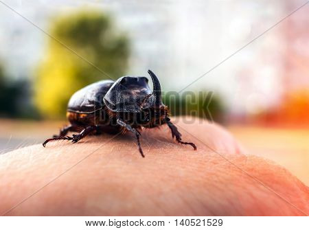 huge beetle with a horn on his hand at sunset close-up