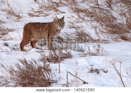 A Bobcat Scanning A Winter Field For Food In Colorado
