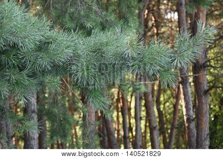 coniferous forest , brown and green color varies