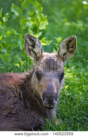 Moose Calf lying in grass. portrait close up