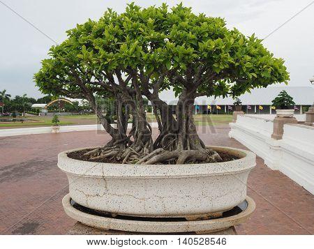 Bonsai tree of banyan in old stone pot.