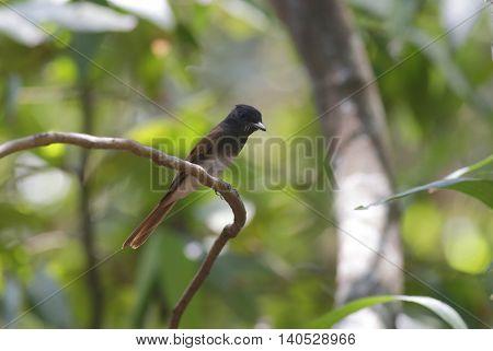 Female Japanese Paradise Flycatcher (Terpsiphone atrocaudata) in Thailand