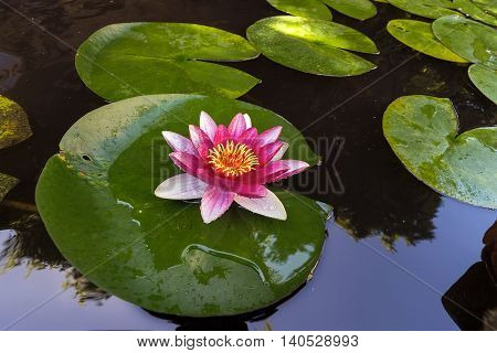 Pink Water Lily flowers in bloom with lilypad in garden backyard pond