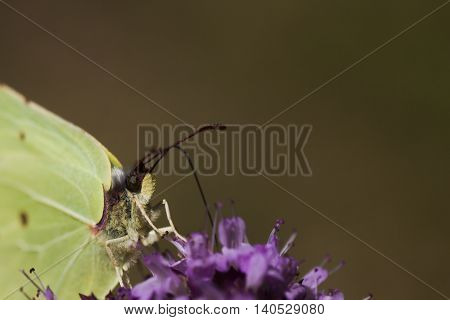 a close up of a brimstone butterfly