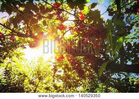 Cherry trees full of ripe fruit glistening in the summer sunlight