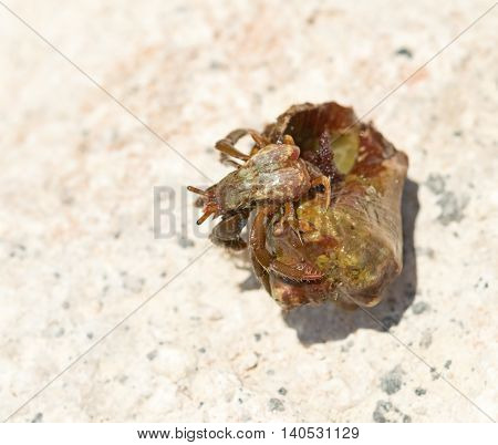 the big hermit crab on stones in summer
