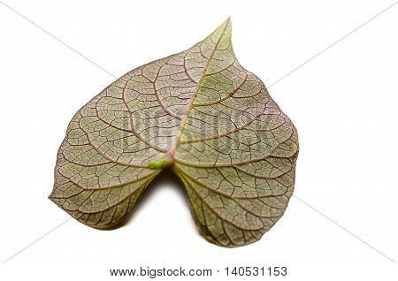 The sweet potato or kumara (Ipomoea batatas) is a dicotyledonous plant that belongs to the family Convolvulaceae
