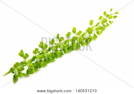 Basil (Ocimum basilicum), also known as Saint Joseph's Wort, is a herb belonging to the mint family Lamiaceae