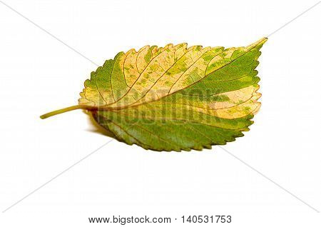 Pink leaf of the Snowflake Hibiscus ( Hibiscus rosa sinensis ) on white background